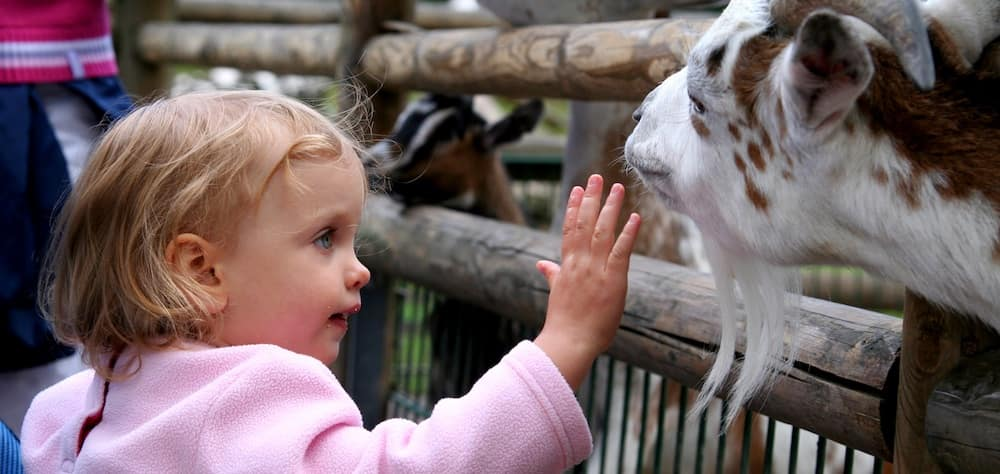 Little blonde girl petting a goat at a petting zoo
