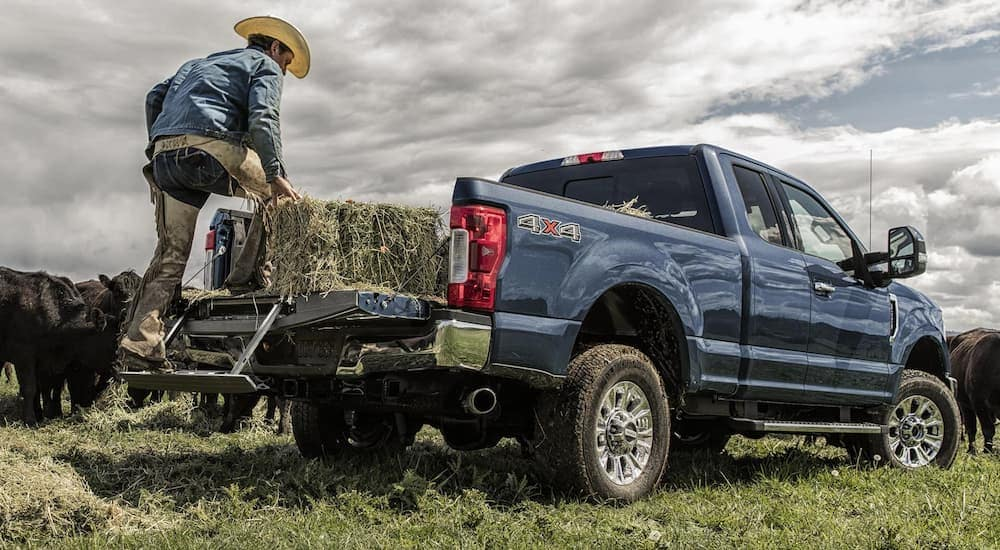 A rancher loads hay into the back of a blue 2019 Ford F-350 with cows in the back