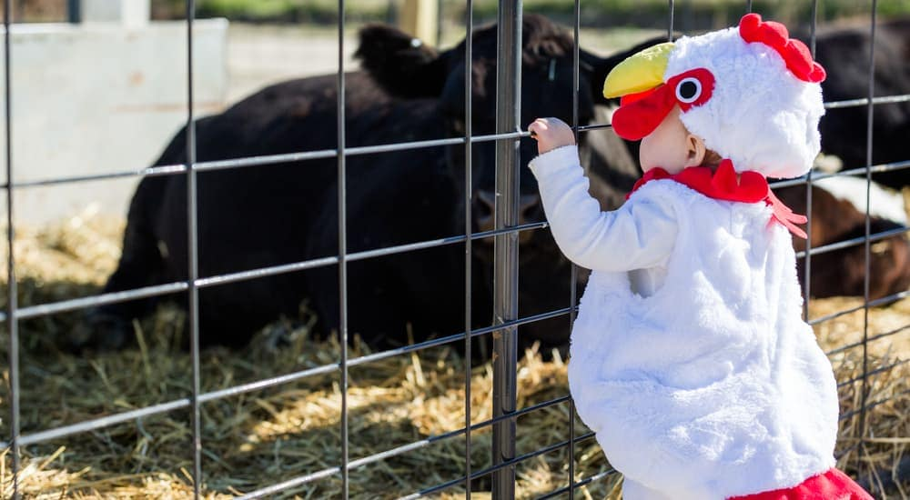 A toddler in a chicken costume is looking at a cow.