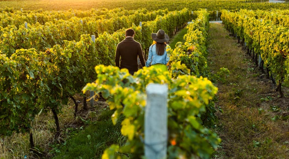 A couple is walking through a winery's grape field while the sun sets in the distance.