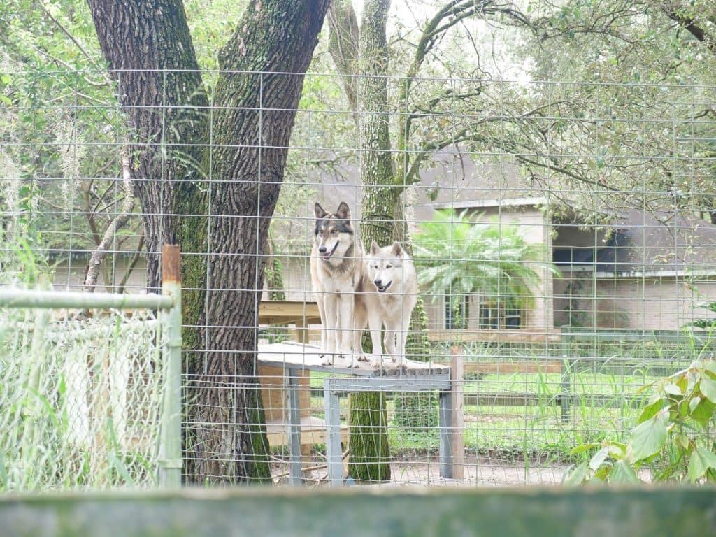 Wolf rehabilitation